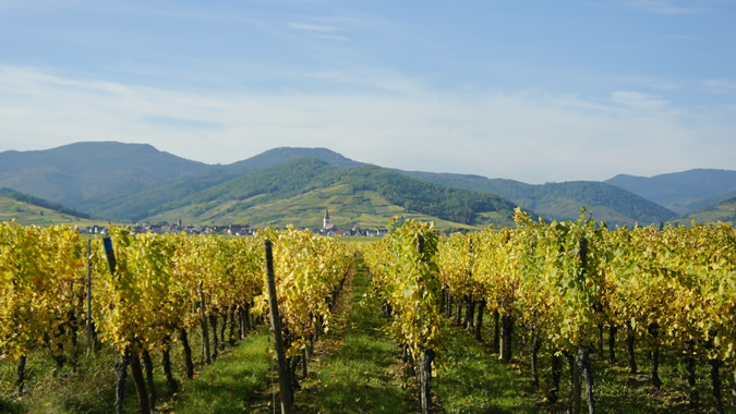 vineyards near Ammerschwihr